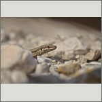Bild 16 zum Bildarchiv Amphibien/Reptilien