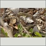 Bild 14 zum Bildarchiv Amphibien/Reptilien