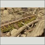 Bild 12 zum Bildarchiv Amphibien/Reptilien