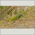 Bild 11 zum Bildarchiv Amphibien/Reptilien