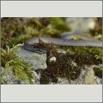 Bild 8 zum Bildarchiv Amphibien/Reptilien