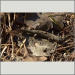 Bild 10 zum Bildarchiv Amphibien/Reptilien