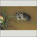 Bild 3 zum Bildarchiv Amphibien/Reptilien