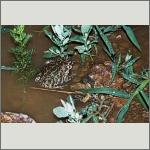 Bild 7 zum Bildarchiv Amphibien/Reptilien