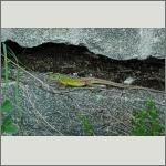 Bild 6 zum Bildarchiv Amphibien/Reptilien