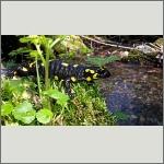 Bild 4 zum Bildarchiv Amphibien/Reptilien