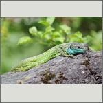 Bild 1 zum Bildarchiv Amphibien/Reptilien