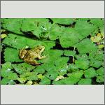 Bild 1 zum Bildarchiv Amphibien