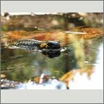 Bild 33 zum Bildarchiv Amphibien/Reptilien