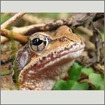 Bild 35 zum Bildarchiv Amphibien/Reptilien