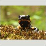 Bild 36 zum Bildarchiv Amphibien/Reptilien
