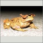 Bild 37 zum Bildarchiv Amphibien/Reptilien