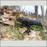 Bild 40 zum Bildarchiv Amphibien/Reptilien