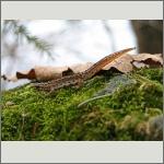 Bild 41 zum Bildarchiv Amphibien/Reptilien