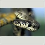 Bild 42 zum Bildarchiv Amphibien/Reptilien