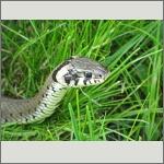 Bild 49 zum Bildarchiv Amphibien/Reptilien