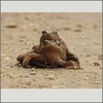 Bild 47 zum Bildarchiv Amphibien/Reptilien