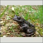 Bild 43 zum Bildarchiv Amphibien/Reptilien