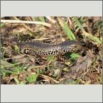 Bild 28 zum Bildarchiv Amphibien/Reptilien