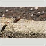 Bild 31 zum Bildarchiv Amphibien/Reptilien