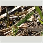 Bild 26 zum Bildarchiv Amphibien/Reptilien