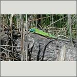 Bild 30 zum Bildarchiv Amphibien/Reptilien