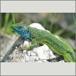 Bild 21 zum Bildarchiv Amphibien/Reptilien