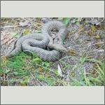 Bild 22 zum Bildarchiv Amphibien/Reptilien