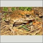 Bild 19 zum Bildarchiv Amphibien/Reptilien