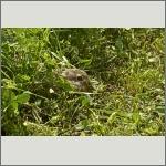 Bild 23 zum Bildarchiv Säugetiere