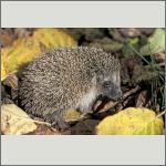 Bild 35 zum Bildarchiv Säugetiere