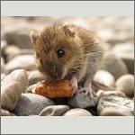 Bild 43 zum Bildarchiv Säugetiere