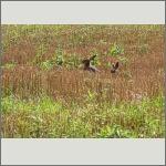 Bild 40 zum Bildarchiv Säugetiere