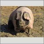 Bild 29 zum Bildarchiv Säugetiere