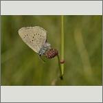 Bild 27 zum Bildarchiv Schmetterlinge
