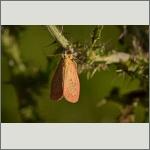 Bild 26 zum Bildarchiv Schmetterlinge