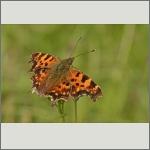 Bild 23 zum Bildarchiv Schmetterlinge