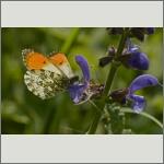 Bild 22 zum Bildarchiv Schmetterlinge