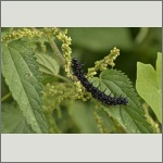 Bild 15 zum Bildarchiv Schmetterlinge