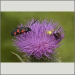 Bild 16 zum Bildarchiv Schmetterlinge