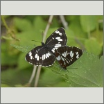 Bild 17 zum Bildarchiv Schmetterlinge