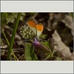 Bild 18 zum Bildarchiv Schmetterlinge