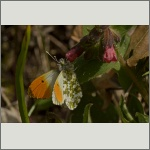 Bild 8 zum Bildarchiv Schmetterlinge