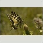 Bild 11 zum Bildarchiv Schmetterlinge