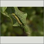 Bild 10 zum Bildarchiv Schmetterlinge
