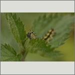 Bild 9 zum Bildarchiv Schmetterlinge