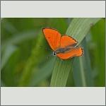 Bild 2 zum Bildarchiv Schmetterlinge