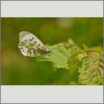 Bild 5 zum Bildarchiv Schmetterlinge