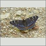 Bild 1 zum Bildarchiv Schmetterlinge