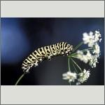 Bild 59 zum Bildarchiv Schmetterlinge